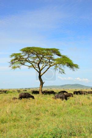 Photo pour Paysage africain avec buffles troupeau de parapluie solitaire acacia arbre et Cap race, serengeti, Tanzanie - image libre de droit