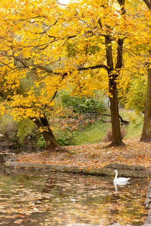 Lake with a swan in autumn park