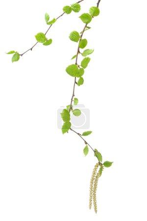 Photo pour Branche d'un arbre de bouleau. Il est isolé sur un fond blanc - image libre de droit
