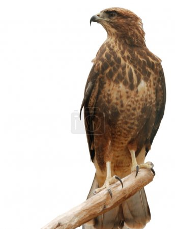 Photo for Falcon. A bird of prey isolated on a white background - Royalty Free Image