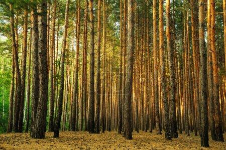 Photo pour Forêt. une forêt de conifères dans le sud-est de l'europe. Ukraine. - image libre de droit
