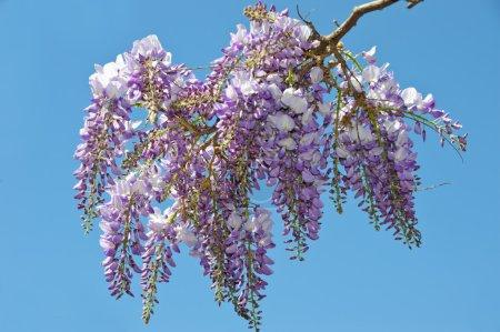 Foto de Glicina es un género de plantas con flores en la familia del guisante - Imagen libre de derechos