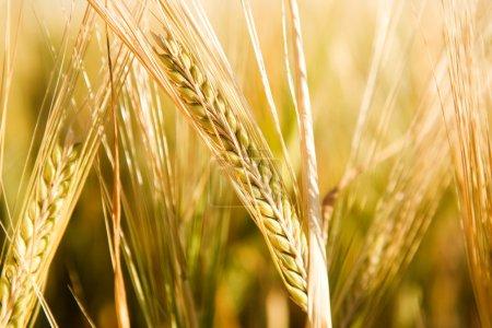 Wheat Head Detail
