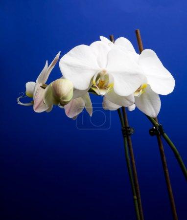 Photo pour Une orchidée blanche sur bleu - phalaenopsis amabilis lune orchidée - image libre de droit