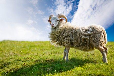 Photo pour Un mouton isolé contre un ciel - image libre de droit