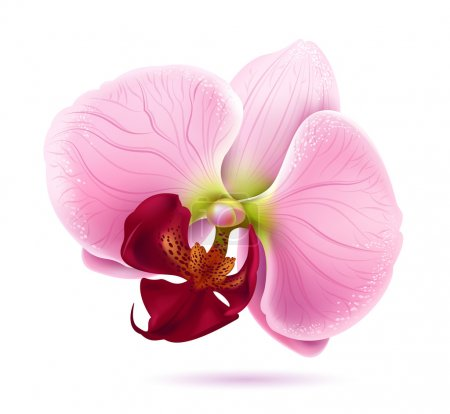 Illustration for Vector pink orchid flower head isolated on white background - Royalty Free Image