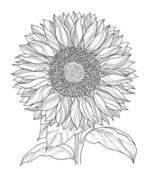 Beautiful sunflower retro drawing