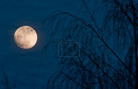 Photo pour Scène de nuit de pleine lune avec arbre - image libre de droit