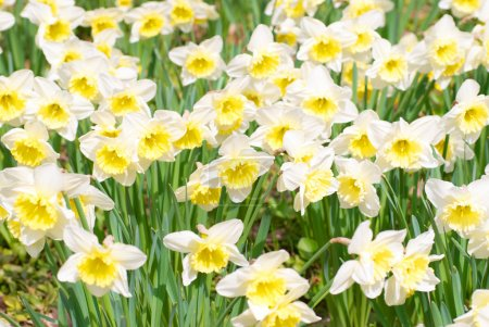 Photo for Field of beautiful white narcissuses, soft backhround - Royalty Free Image