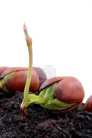 Photo for Shooting fresh acorn, spring, easter and force of nature - Royalty Free Image