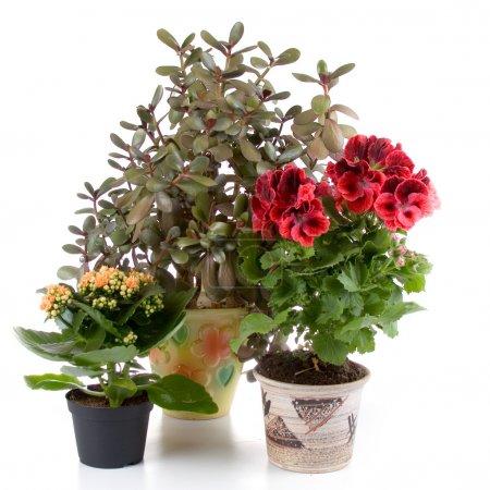 Foto de Las plantas en maceta: pelargonium, kalanchoe y crassula - Imagen libre de derechos