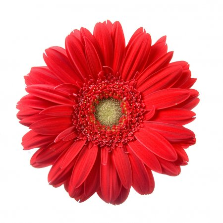 Red gerbera isolated on a white background...