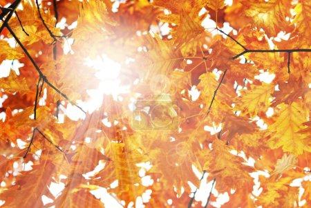 Sun an oak