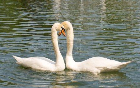 Photo pour Deux cygnes amoureux de baignade sur le lac - image libre de droit