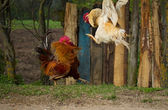 Two fighting roosters
