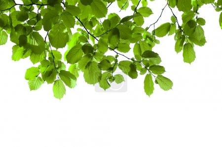 Foto de Rama verde aislado en blanco - Imagen libre de derechos