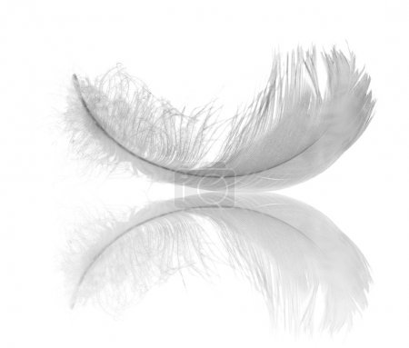 Photo pour Plume de cygne blanc isolé sur fond blanc - image libre de droit