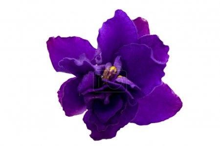 Photo pour Bleu simple fleur violette isolé sur fond blanc - image libre de droit