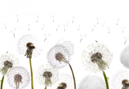 White dandelions field