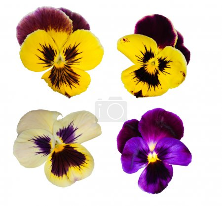 Set of four pansy flowers
