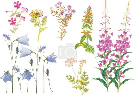 Illustration with wild herbs isolated on white bac...