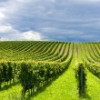 Beautiful rows of grapes before harvesting...