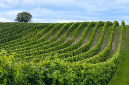 Beautiful rows of grape