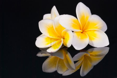 Photo for Leelawadee flower and its reflection on black background - Royalty Free Image
