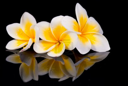 Photo for Leelawadee flower and its reflecion on black background - Royalty Free Image