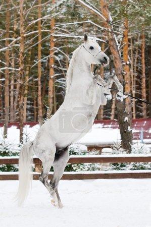 White arabian stallion portrait in winter