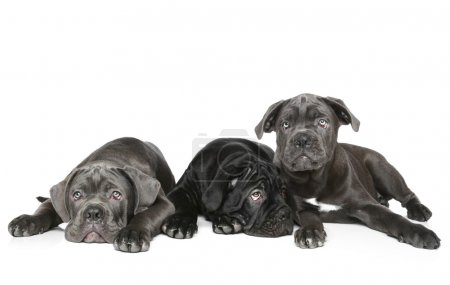 Three Cane Corso puppy lie on a white background