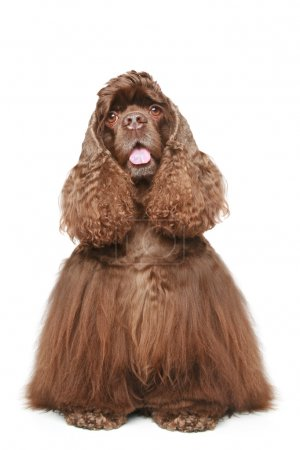 Chocolate American cocker spaniel on white background