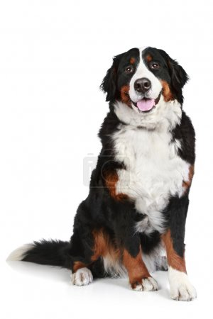 Bernese mountain dog on white background