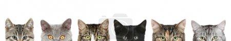 Photo pour Têtes de la moitié du chat sur fond blanc - image libre de droit