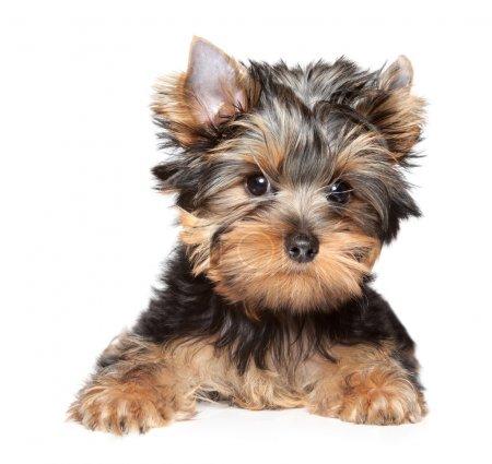 Yorkshire terrier close-up portrait