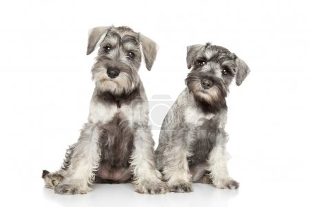Miniature schnauzer puppies on white background