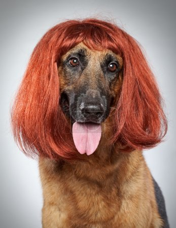 German shepherd. Funny portrait in a wig