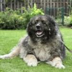 Adult Caucasian Shepherd dog lying on grass. Outdo...