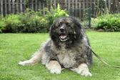 Adult Caucasian Shepherd dog on grass