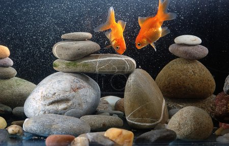 Couple goldfish