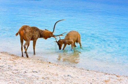 Two deer butt horns at ocean