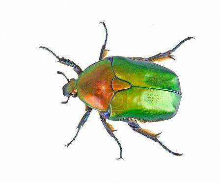 Primer plano de escarabajo verde brillante