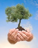 Olive tree in hands