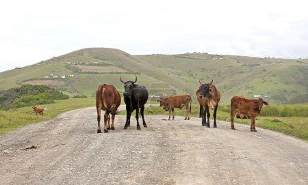Rinderherde auf Feldweg im ländlichen Afrika