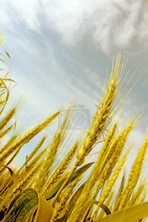Abstract view of wheat ears