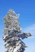 Pino sempreverde, coperto da una neve