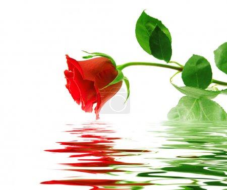 Photo pour Belle rose rouge sur fond blanc avec réflexion dans une surface lisse de l'eau - image libre de droit