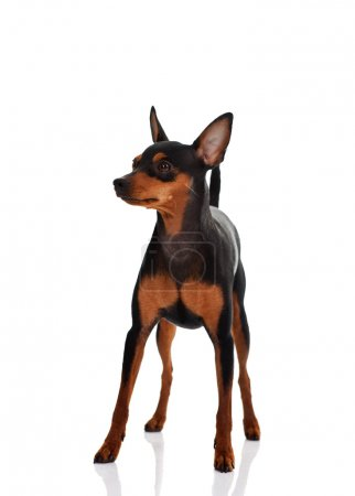 Miniature pinscher in front of a white background...