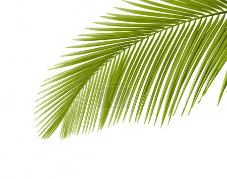 Photo for Part of palm leaf on white background - Royalty Free Image