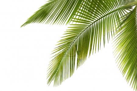 Photo pour Partie de palmier sur fond blanc - image libre de droit